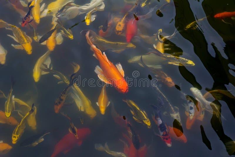 Nuoto del pesce di Koi fotografie stock