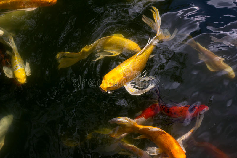 Nuoto del pesce di Koi immagine stock libera da diritti