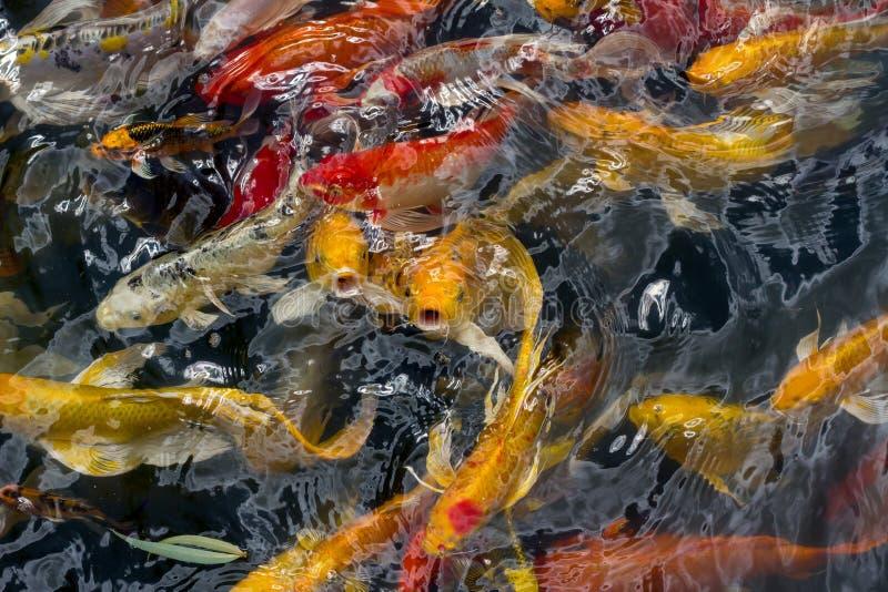 Nuoto del pesce di Koi fotografia stock libera da diritti