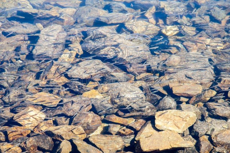 Nuoto del pesce nel fiume immagini stock