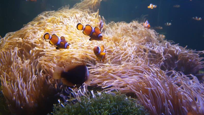 Nuoto del pesce del pagliaccio di Nemo nell'anemone di mare sul variopinto immagini stock