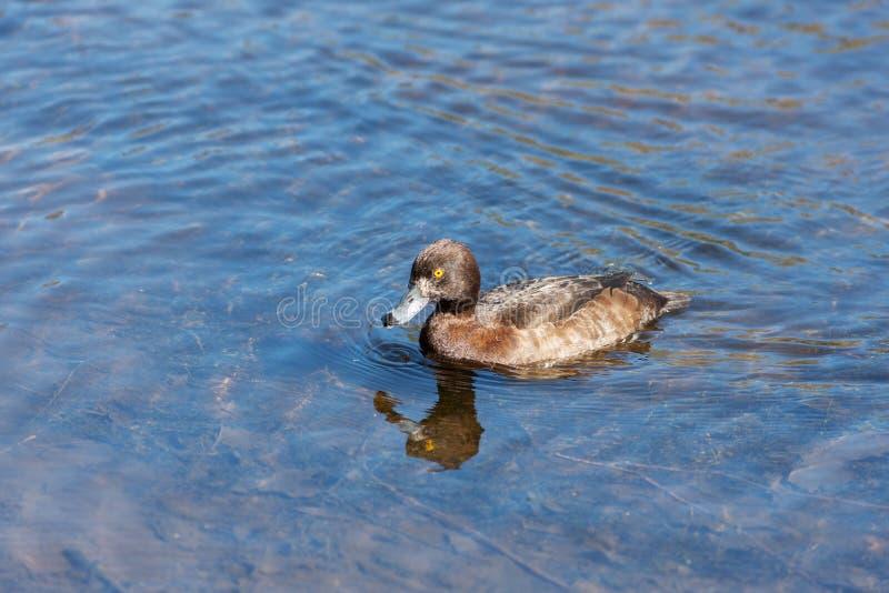 Nuoto dell'anatra in acqua blu immagini stock libere da diritti