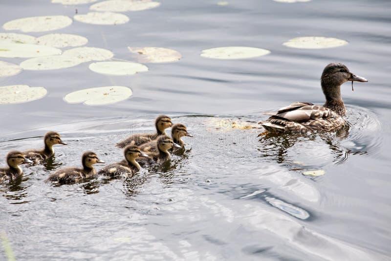 Nuoto dell'anatra della madre con gli anatroccoli piccoli fotografia stock