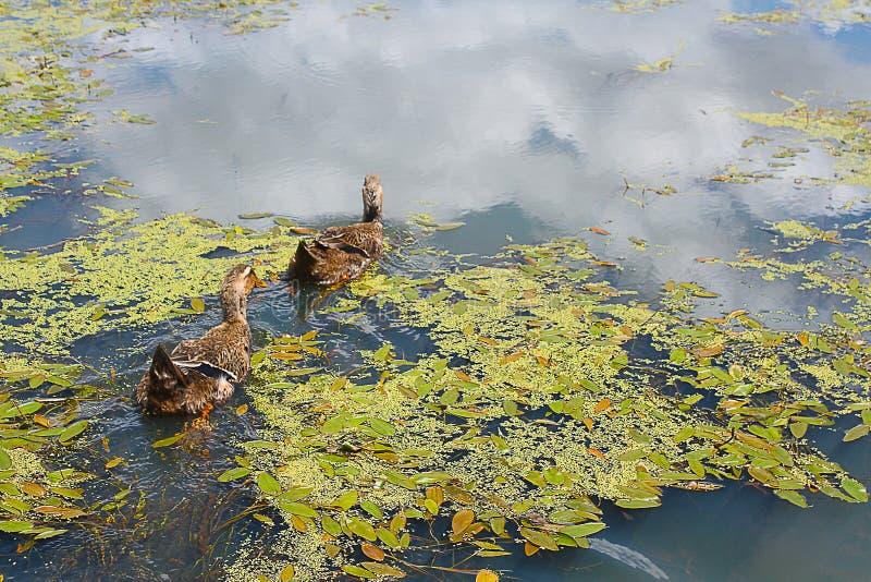 Nuoto dell'anatra di Mallard di due maschi sullo stagno fotografia stock libera da diritti