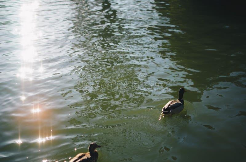 Nuoto dell'anatra nell'acqua fotografia stock libera da diritti