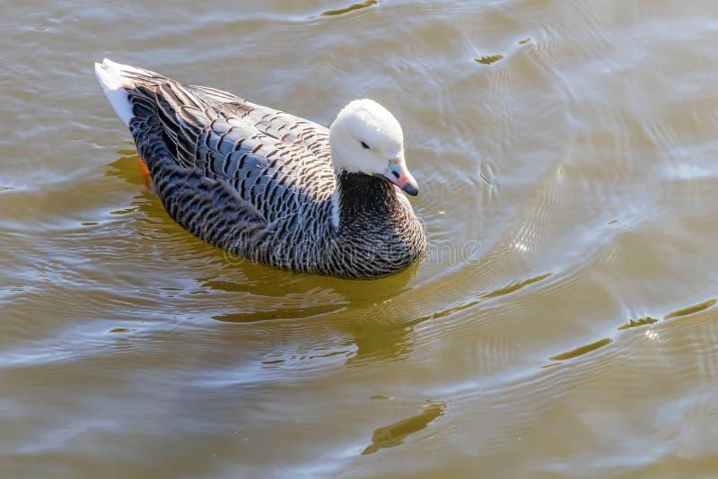 Nuoto dell'oca dell'imperatore nel canagicus del Anser dell'acqua fotografia stock libera da diritti
