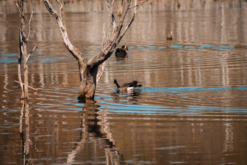 Nuoto dell'oca in uno stagno a Grand Rapids Michigan fotografie stock libere da diritti