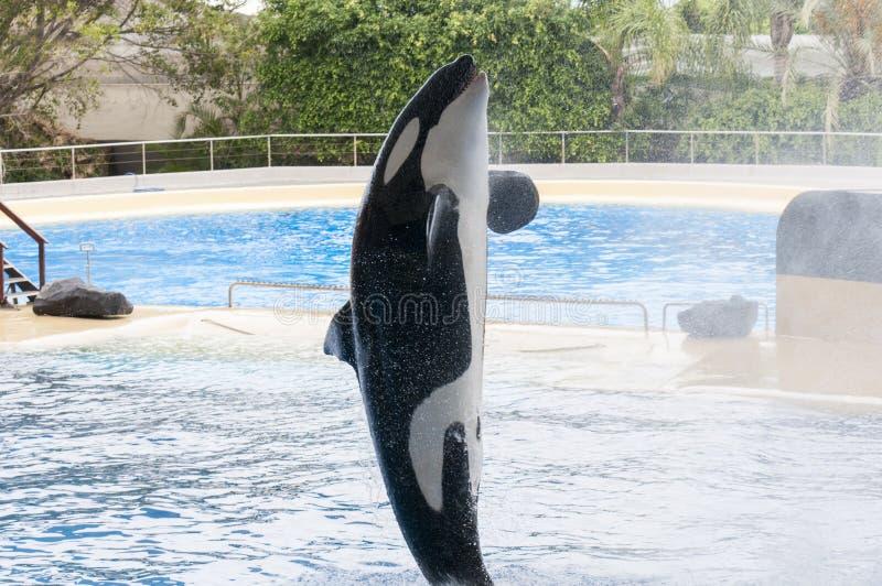 Nuoto dell'orca immagine stock