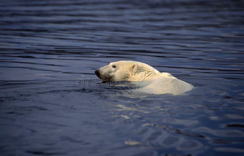 Nuoto dell'orso polare fotografia stock libera da diritti