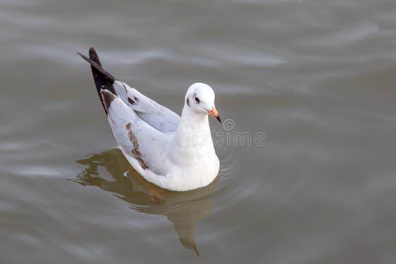 Nuoto dell'uccello del gabbiano sul mare alla cacca di colpo, Samutprakan, Tailandia fotografia stock libera da diritti
