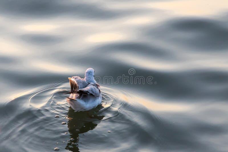 Nuoto dell'uccello del gabbiano sul mare alla cacca di colpo, Samutprakan, Tailandia fotografia stock