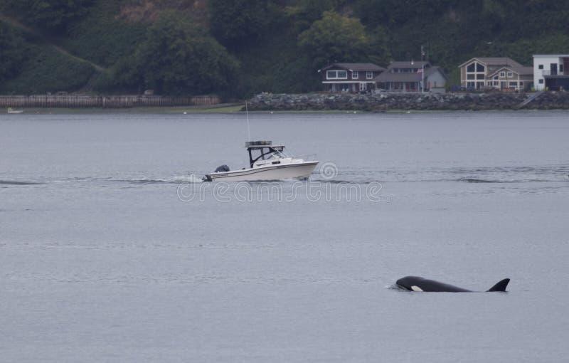 Nuoto della balena dell'orca in Puget Sound, Washington, U.S.A. fotografie stock libere da diritti