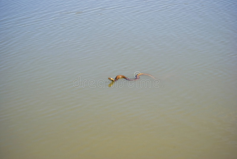 Nuoto della cobra del capo nella diga fotografia stock libera da diritti