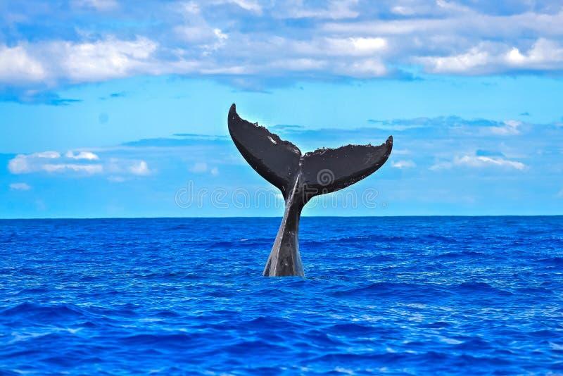 Nuoto della megattera, coda fotografie stock libere da diritti