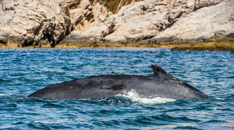 Nuoto della megattera nell'oceano Pacifico Indietro della balena sulla superficie dell'oceano Tuffarsi il profondo immagini stock libere da diritti