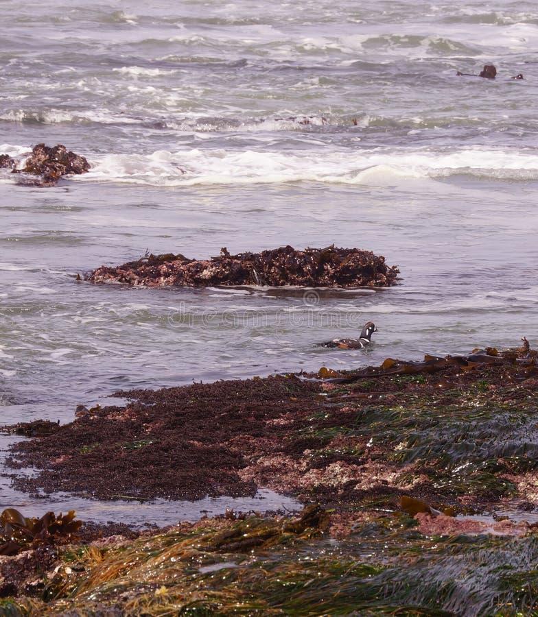 Nuoto della moretta arlecchino in spuma fotografie stock libere da diritti
