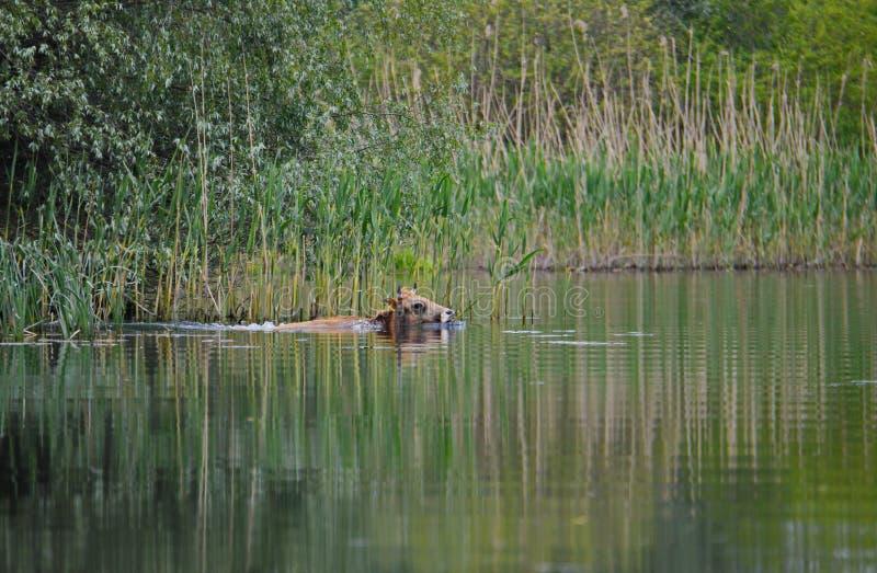 Nuoto della mucca fotografie stock libere da diritti