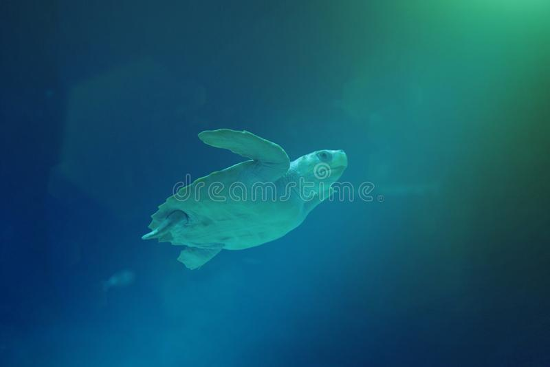 Nuoto della tartaruga di mare nell'oceano immagine stock