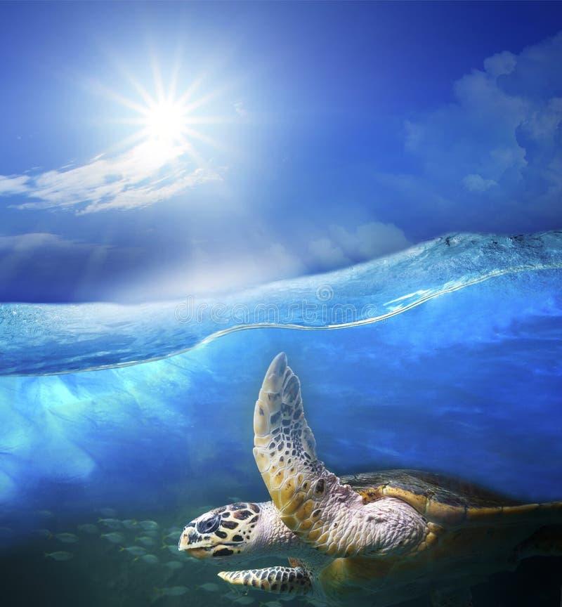 Nuoto della tartaruga sotto l'acqua blu del mare chiaro con il sole che splende sulla s fotografie stock