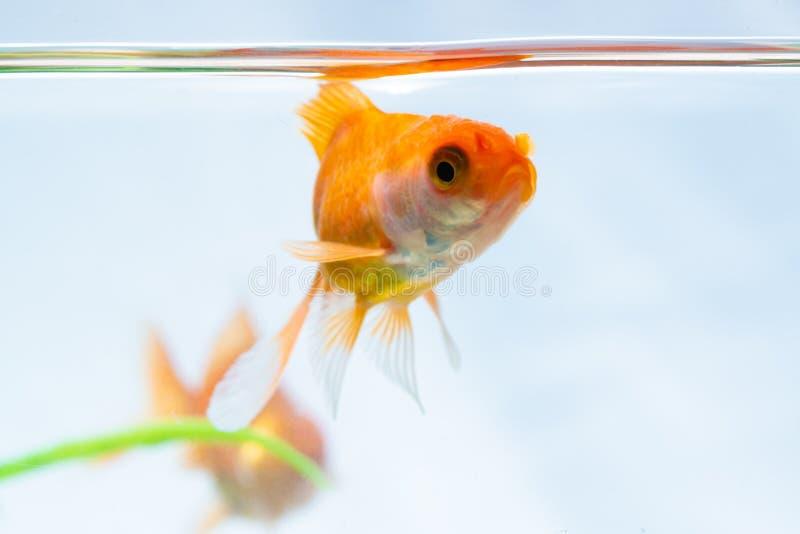 Nuoto di galleggiamento del pesce o del pesce rosso dell'oro subacqueo in carro armato fresco dell'acquario con la pianta verde fotografia stock libera da diritti