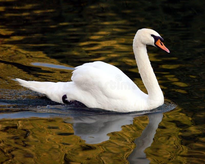 Nuoto di profilo del cigno fotografia stock libera da diritti