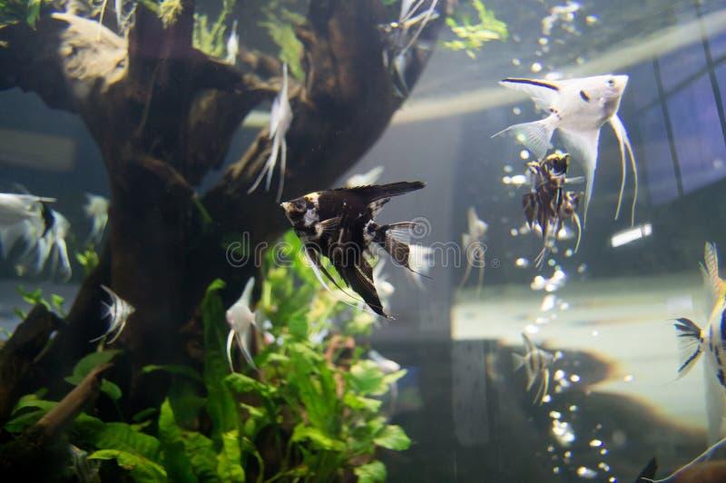 Nuoto divertente del pesce sui carri armati di pesce di acqua dolce fotografia stock libera da diritti