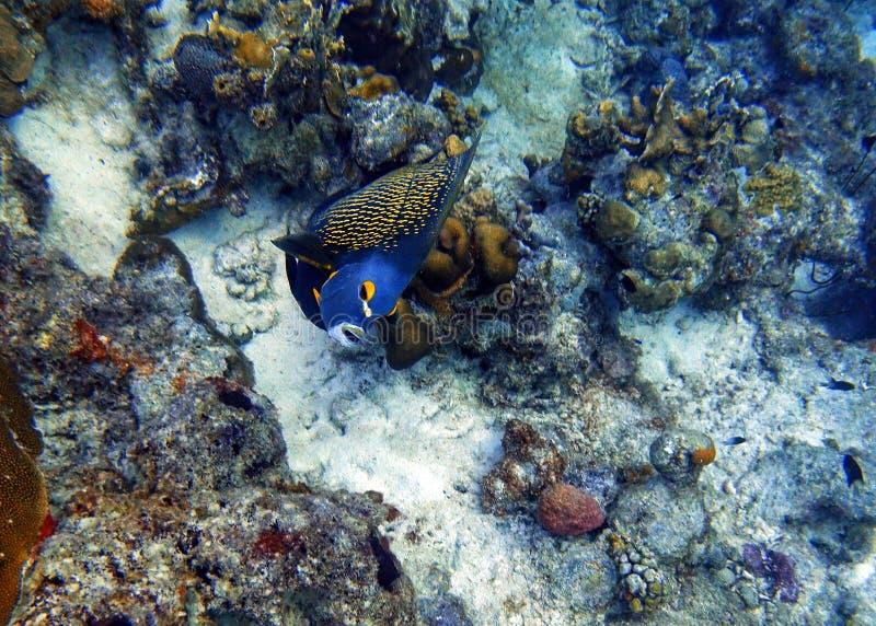 Nuoto francese dell'angelo di mare nell'oceano fotografie stock