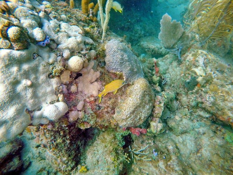 Nuoto francese di grugnito fra il corallo fotografia stock libera da diritti