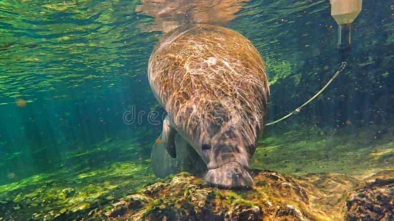 Nuoto giovanile orfano del Manatee in una molla di Florida immagine stock libera da diritti