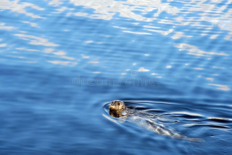 Nuoto macchiato della guarnizione nel mare, principe Rupert, BC fotografia stock