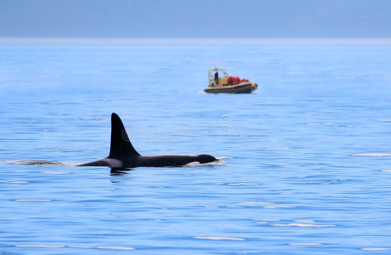 Nuoto maschio dell'orca dell'orca, con la barca di sorveglianza della balena, Victoria, Canada fotografie stock