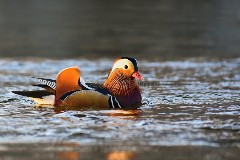 Nuoto maschio di galericulata del Aix dell'anatra di mandarino del primo piano sull'acqua con la riflessione Un bello uccello che immagini stock libere da diritti