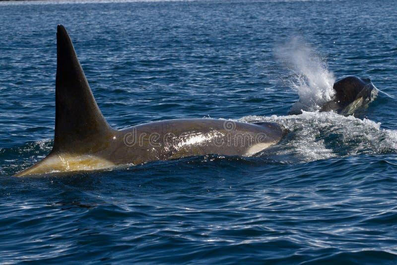 Nuoto maschio e femminile dell'orca nell'ANTARTIDE immagini stock