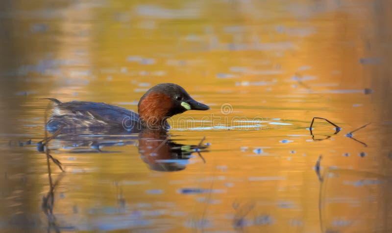 Nuoto maturo del tuffetto sulla superficie dell'acqua colorata dalla grande luce di tramonto fotografia stock libera da diritti