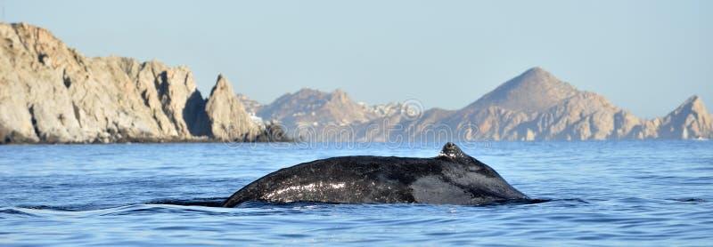 Nuoto nell'oceano Pacifico, parte posteriore della megattera dell'immersione subacquea della balena immagini stock
