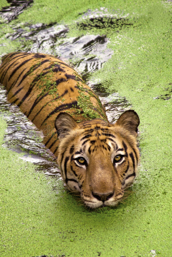 Nuoto reale della tigre di Bengala in acqua immagine stock libera da diritti