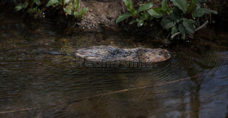 Nuoto selvaggio dell'arvicola di acqua immagini stock libere da diritti