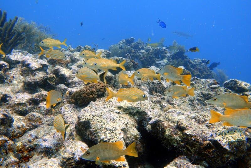 Nuoto a strisce blu di grugnito nell'oceano fotografia stock libera da diritti