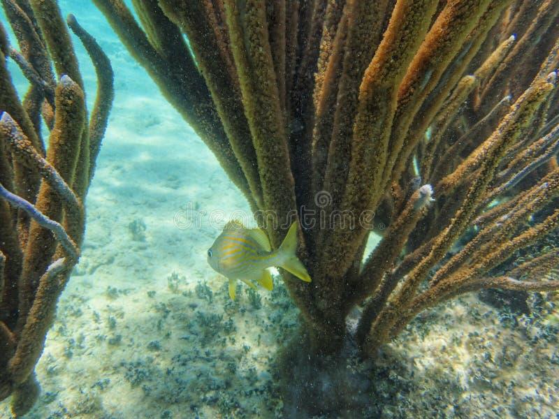 Nuoto a strisce blu di grugnito nell'oceano immagini stock