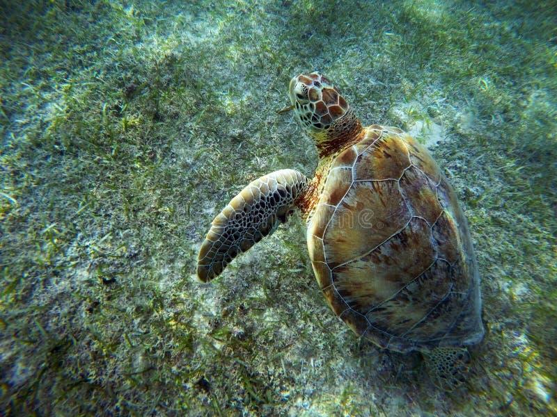 Nuoto subacqueo messicano della tartaruga di mare sulla terra immagine stock