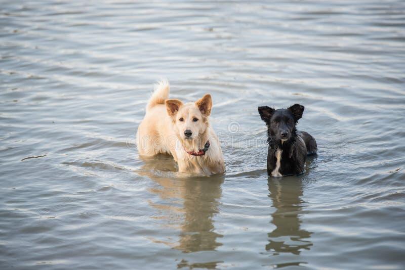Nuoto tailandese del cane nel fiume fotografia stock