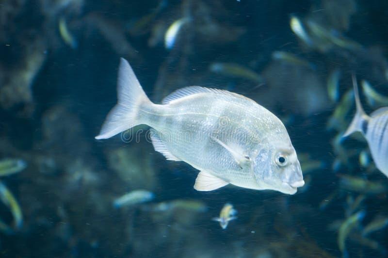 Nuoto tropicale del pesce immagine stock libera da diritti