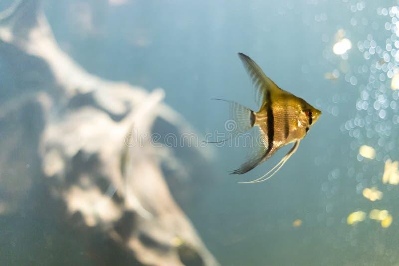 Nuoto tropicale dorato del pesce sotto l'acqua immagine stock