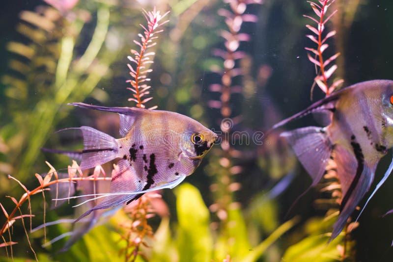 Nuoto tropicale variopinto del pesce intorno all'isola tropicale di Nusa Penida, Bali Una vista dettagliata del mondo subacqueo s fotografia stock