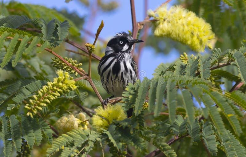 Nuova Holland Honeyeater che si siede in un albero immagine stock