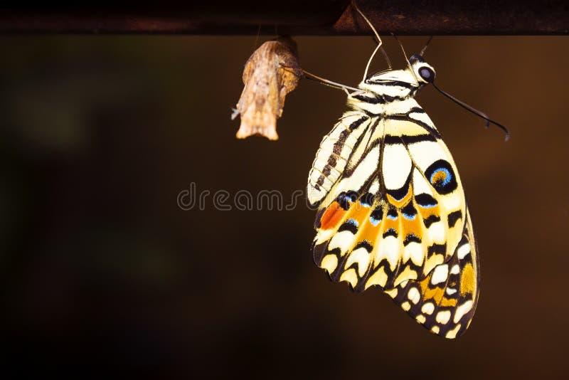 Nuova metamorfosi della farfalla fotografia stock libera da diritti