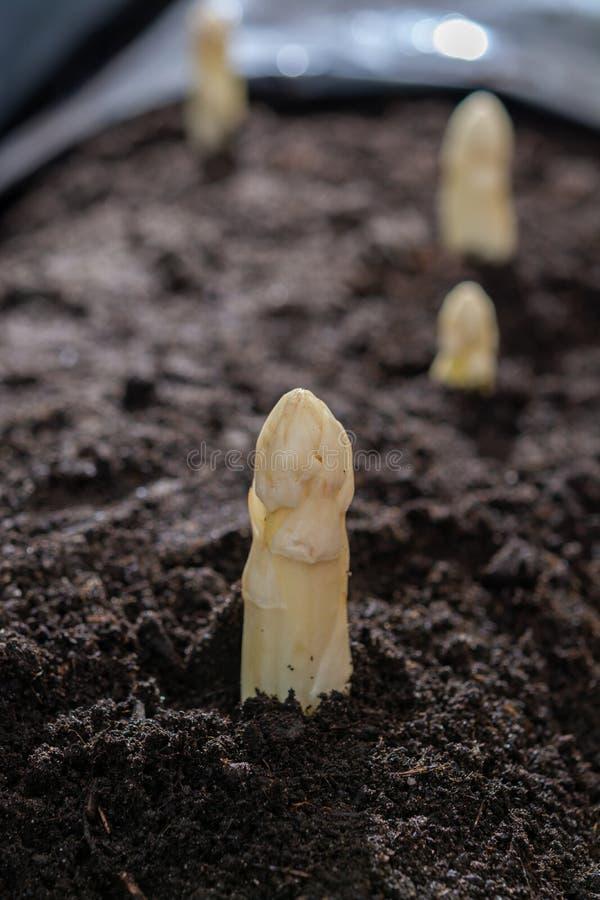 Nuova stagione primaverile di asparago bianco di verdure sul campo pronto a raccogliere, teste bianche di asparago che crescono d fotografia stock libera da diritti