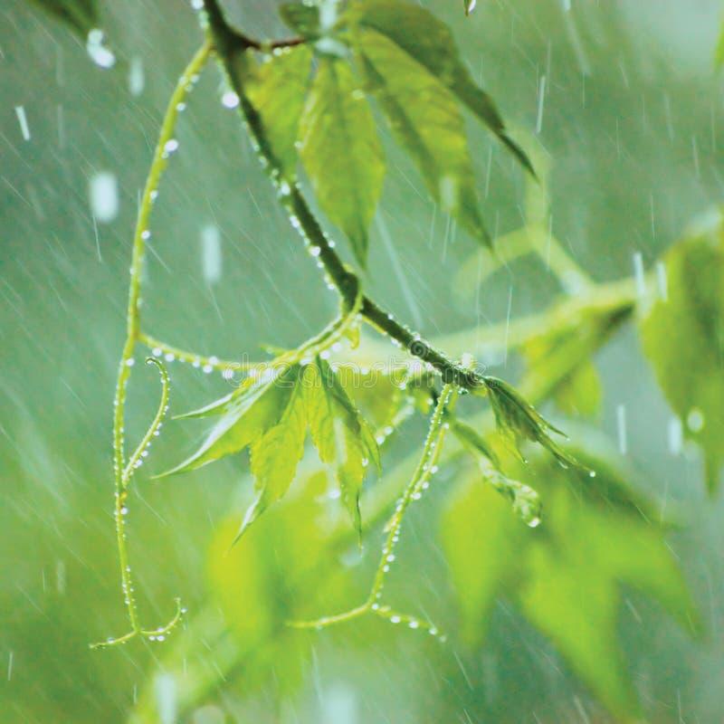 Nuova Virginia Creeper, pioggia della tempesta di pioggia di giorno piovoso di inizio dell'estate, primo piano delicato di macro  immagine stock