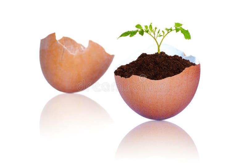 Nuova vita in pianta che cresce dalle coperture incrinate dell'uovo di Brown fotografie stock