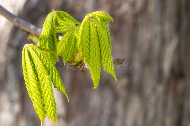 Nuove foglie della castagna della molla di crescita fotografie stock